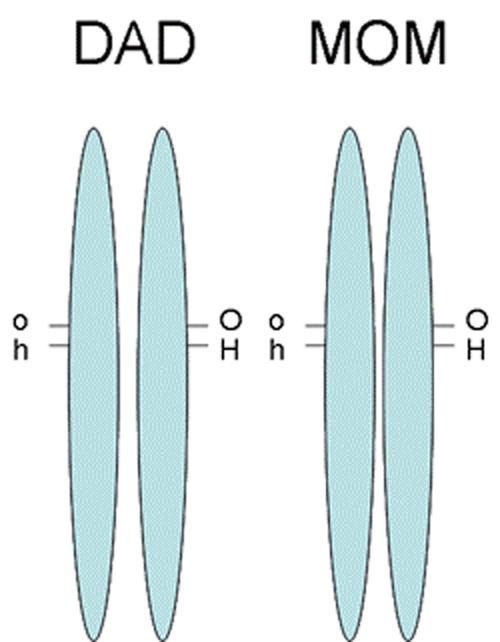 Kromozomlar (mavi çubuklar olarak gösterilmiştir) üzerinde her bir lokusun (genlerin bulundukları bölgelerin) birbirine ne kadar yakın olduğuna dikkat ediniz. Bu tür yakın genlerin bir arada aktarılma ihtimali daha yüksektir. Biri aktarılırken, diğerini de beraberinde sürükler. Bunu, adeta bir arkadaşınızı kolundan tutup sürüklemek gibi düşünebilirsiniz.