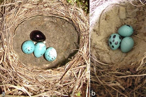Şekil 1: Konak kuşun yumurtalarının (bu şekilde ardıçkuşu -Turdus philomelos- yumurtaları görünüyor) renkleri ve şekillerinin değiştirildiği deneyden fotoğraflar. Bu deneyde yumurtaları ayırt etmede görsel ekolojinin rolünü anlamak için ebat, şekil, kabuk kalınlığı gibi diğer özelliklere dokunulmadı. Soldaki şekil, bir yumurtanın tamamen koyu renge boyanarak manipüle edildiği bir deneyden, sağdakiyse bir yumurtanın lekelerinin büyütüldüğü deneyden. Kaynak:  2010 Nature Education - M. Hauber. Her hakkı saklıdır.
