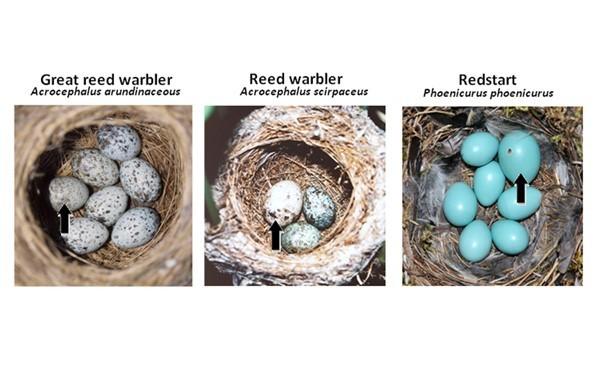 Şekil 2: Hem konak hem de guguk kuşu yumurtalarının bulunduğu yuvalar. Görüldüğü gibi, siyah okla gösterilen guguk kuşu yumurtaları insan gözü için neredeyse kusursuz benzerlikte. Kaynak: 2010Nature EducationCourtesy of M. Honza, T. Grim, & C. Moskat. All rights reserved.