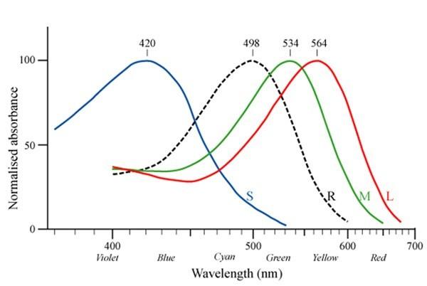 Şekil 4: İnsan retinasındaki üç konik opsin (S, M, L) ve bir rodopsinin maksimum dalgaboyu emilimleri arasındaki fark.Kaynak: Public Domain WikiMedia Commons
