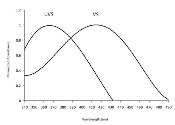 Şekil 5: Ultraviyoleye duyarlı (UVS) ve mora duyarlı (VS) türlerin SWS1 opsin fotoreseptörlerinin azami dalgaboyu emilim eğrileri arasındaki fark. Kaynak:  2010 Nature Education Her hakkı saklıdır.