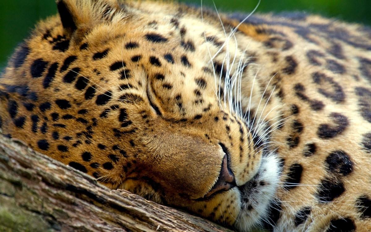 Uyuyan bir leopar...