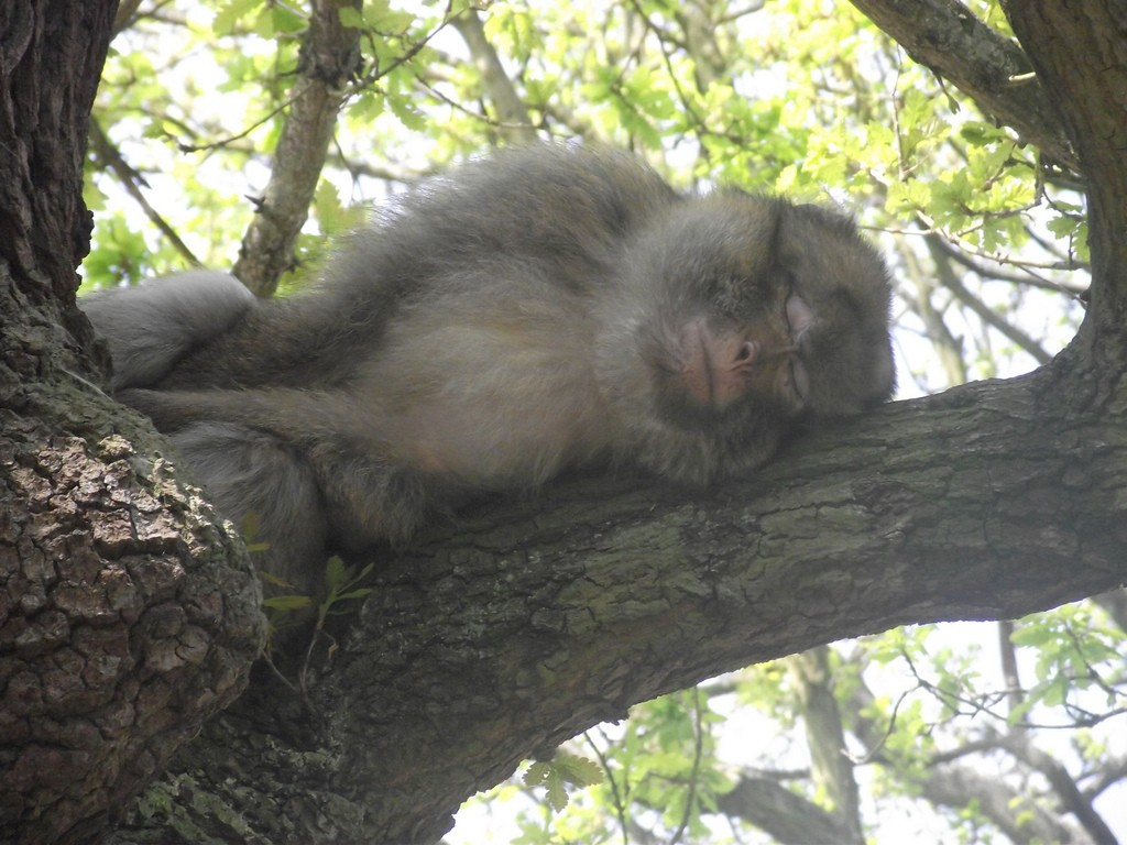 Ağaçta uyuyan bir maymun...