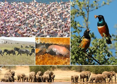 Şekil 1:Hayvanlar aleminde toplu yaşam yaygındır. (a) Flamingo (Phoenicopterus minor) kolonileri ve (b) zebra (Equus quagga) sürüleri gibi pek çok tür geçici birlikler kursa da (c) Afrika filleri (Loxodonta africana), (d) takırtı karidesi (Synalpheus brooksi) ve (e) sığırcıklar (Lamprotornis superbus) gibi bazı türler daha kalıcı topluluklar oluşturup yıl boyunca birlikte yaşarlar.