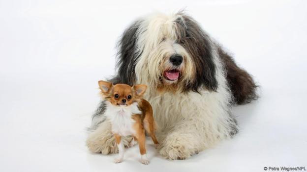 Köpekler, kurtlardan yapay seçilim yoluyla evrimleştirilmişlerdir!