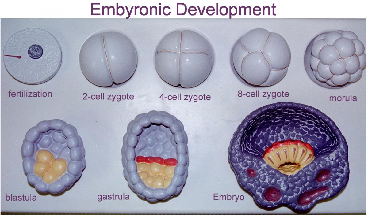 Embriyonun evreleri...