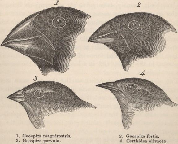 Şekil 2: Darwin'in ispinoz kuşları. Kaynak:Public DomainThe Complete Works of Charles Darwin Online.