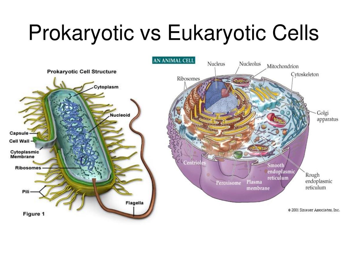 Prokaryot ve ökaryot hücrelere birer örnek...
