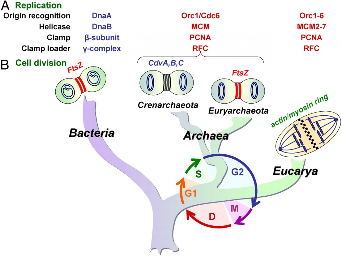 Arkelerin ökaryotlara bakterilerden daha yakın olduğunu gösteren evrimsel analiz sonuçlarından bir örnek...