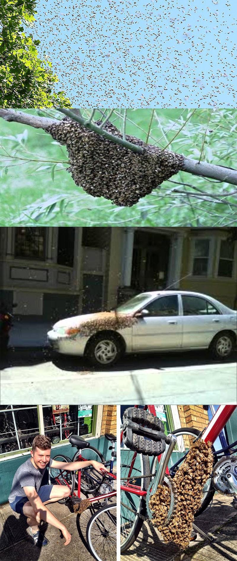 Kovanı terk eden arılar ağaç dallarına, arabalara veya bisikletlere konabilirler.