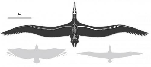 Dünyanın en büyük uçabilen kuşu Pelagornis sandersi'nin kanat açıklıklı karşılaştırmalı bir çizimi. Sol tarafta gösterilen California akbabası, sağ tarafta gösterilen Royal albatross. (Credit: Liz Bradford)