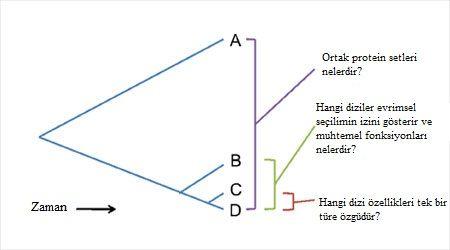 Şekil 3. Farklı filogenetik mesafelerde genomların karşılaştırılması özel soruların ele alınmasını sağlar.